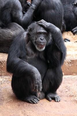 Denkender Schimpanse
