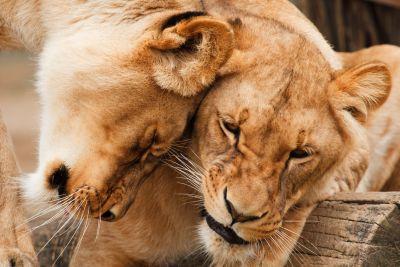 Löwen in Wertschätzung
