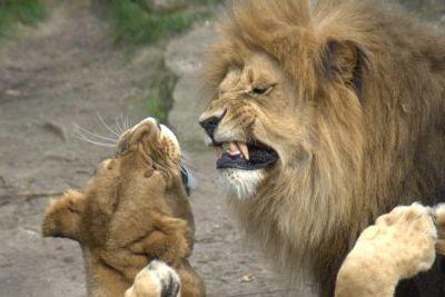 Löwen, die sich kritisieren